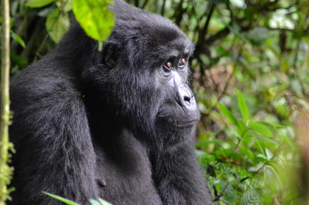 gorilla, uganda, bwindi