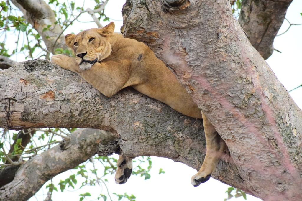 ishasha, lion, tree climbing